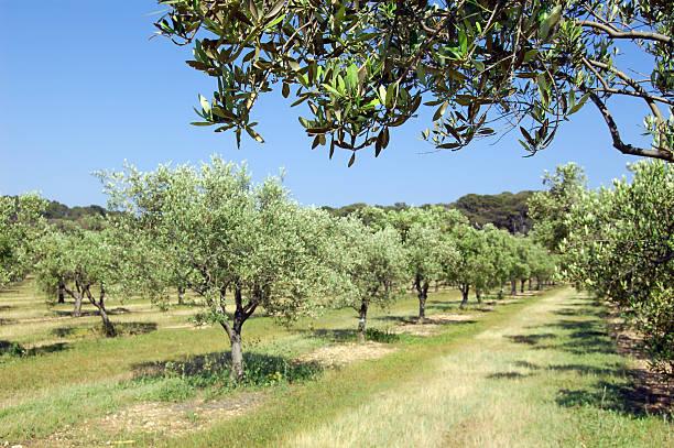Olivenbäume über in bloom – Foto