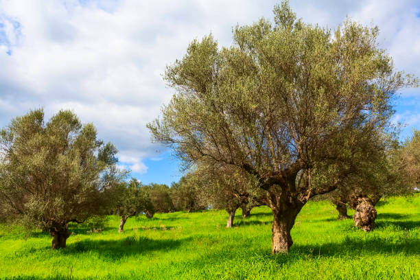 Olive trees and cloudy sky stock photo