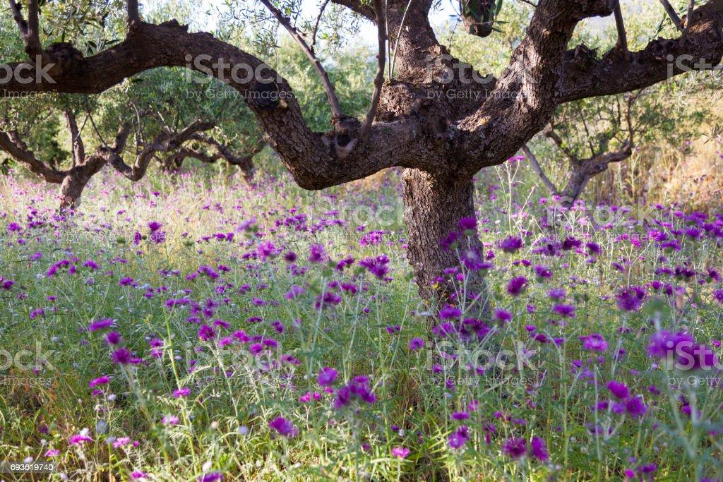 Olijfbomen En Paarse Distel Bloemen In De Buurt Van Stoupa In Mani Op Griekse Peloponnesos Stockfoto En Meer Beelden Van Biologisch Istock