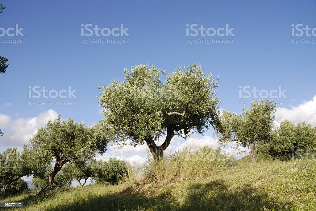olive trees at spring with green meadow royalty-free stock photo
