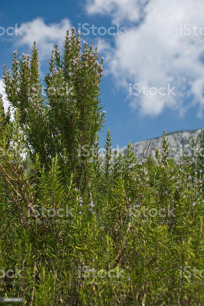 Olive Trees - Croatia stock photo