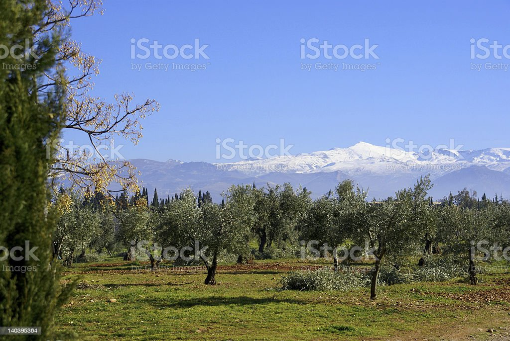 Olive trees in front of the Sierra Nevada royalty-free stock photo