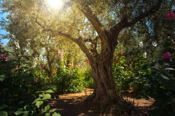 Olive trees in Gethsemane garden, Jerusalem stock photo