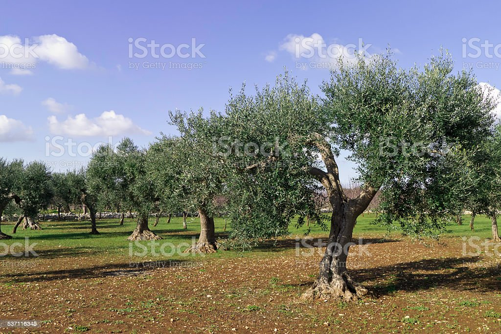 Olive trees in morning sunny winter . stock photo