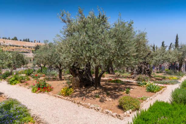 Olive trees in the garden of Gethsemane, Jerusalem, Israel. stock photo