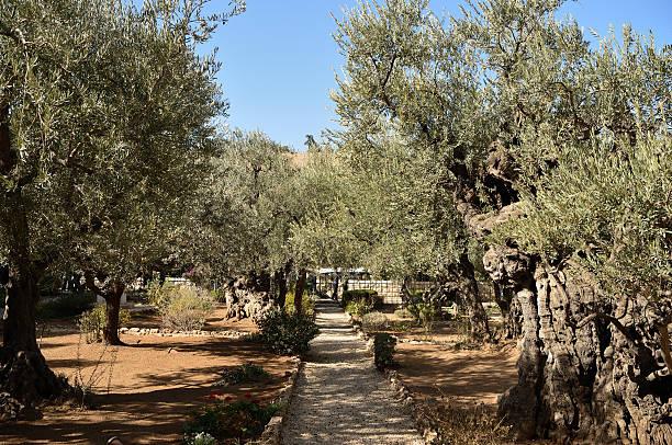 Olive trees in the Garden of Gethsemane, Jerusalem, Israel stock photo
