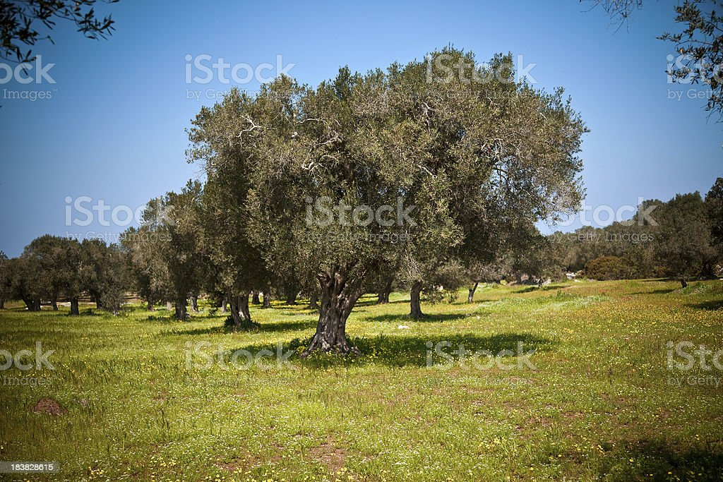 Olive trees in the Springtime royalty-free stock photo