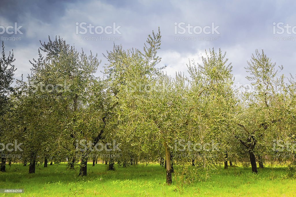 Olive trees in Tuscany royalty-free stock photo