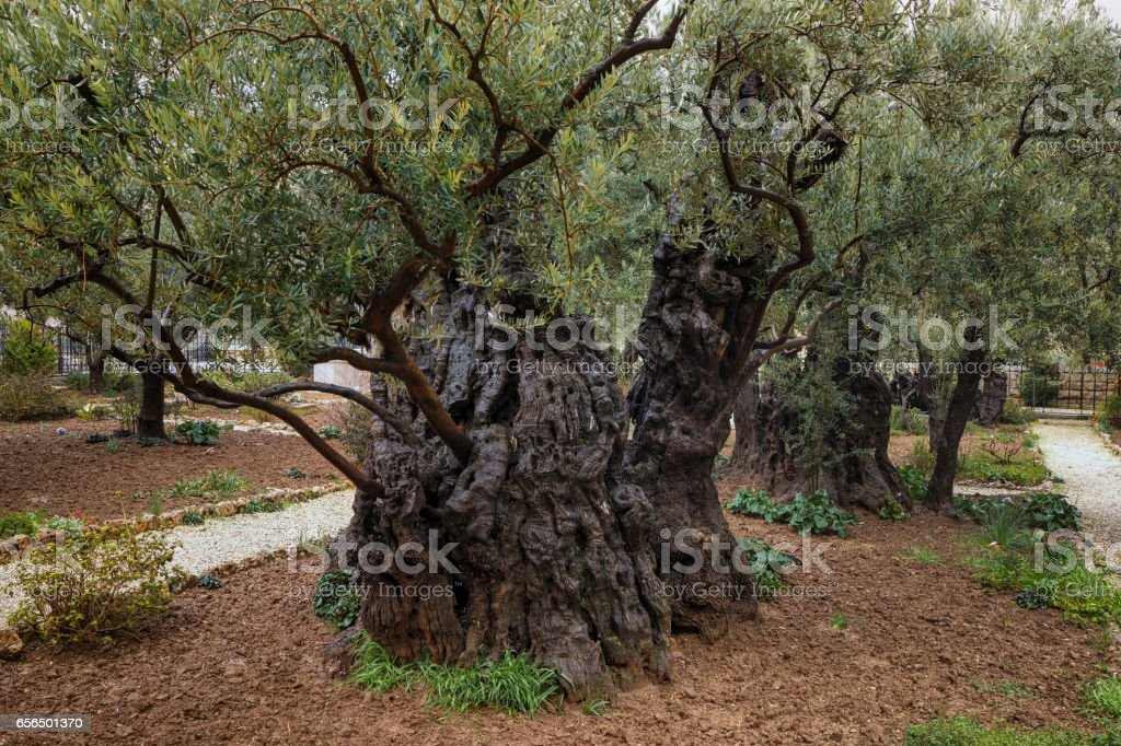 Olive Trees of Gethsemane on the Mount of Olives stock photo