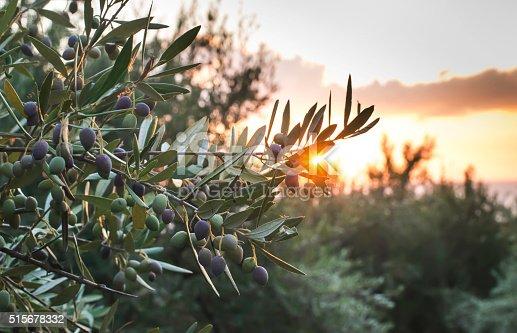 istock Olive trees on sunset 515678332