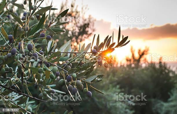 Olive trees on sunset picture id515678332?b=1&k=6&m=515678332&s=612x612&h=ij3nq fztyrllestm28h5lwohjrtwsq04rz1tokxkqs=