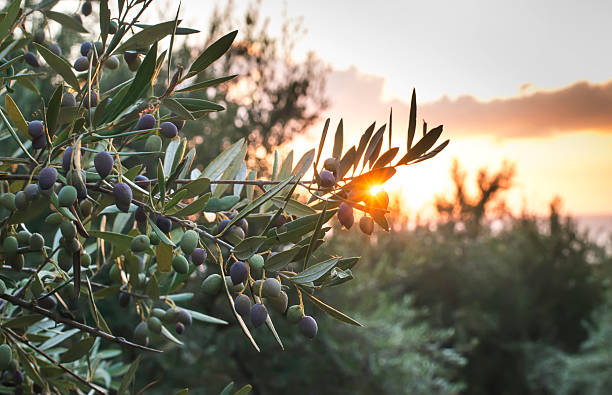 Olive trees on sunset Olive trees on sunset. Sun rays olives stock pictures, royalty-free photos & images