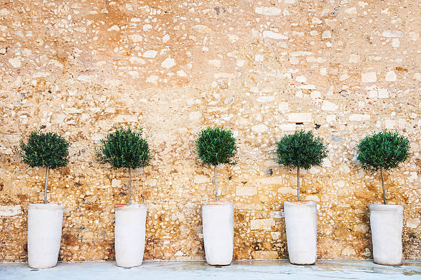 Olive trees on the stone wall background - Photo