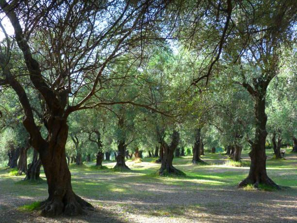 올리브 나무, 피 박, 망 통, 프랑스 리비에 라 - 알프마리팀 뉴스 사진 이미지