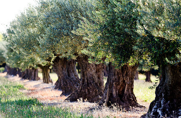 olive trees an orchard with olive trees provence alpes cote d'azur stock pictures, royalty-free photos & images