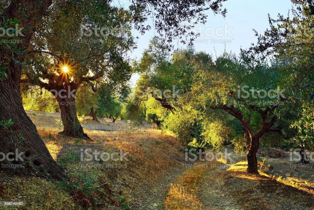 Des oliviers - Photo