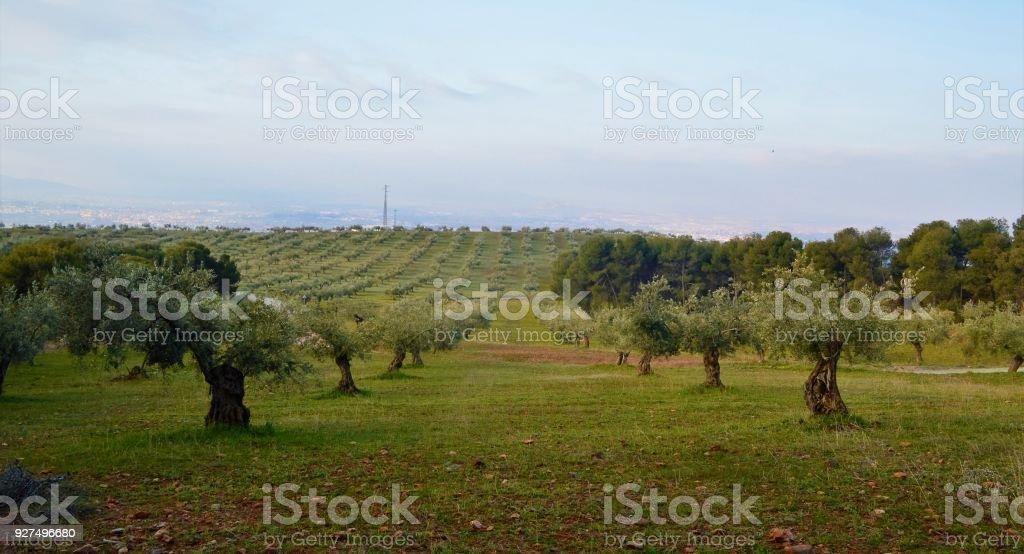 Olivenbäume. – Foto