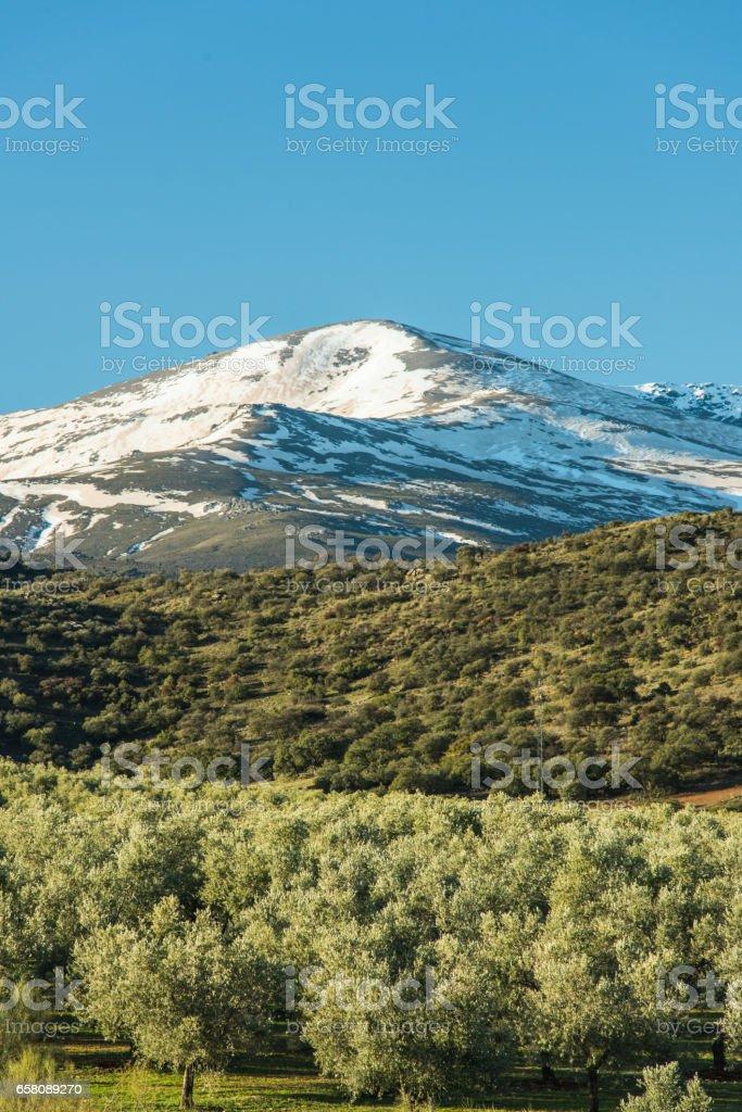 Olive trees plantation and Sierra Nevada snowy peaks, Spain royalty-free stock photo