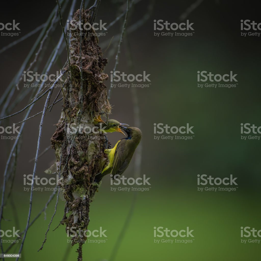 Olive-backed Sunbird building its nest stock photo