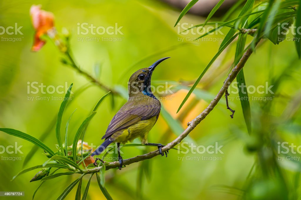 Olive-backed sunbird(Cinnyris jugularis) stock photo