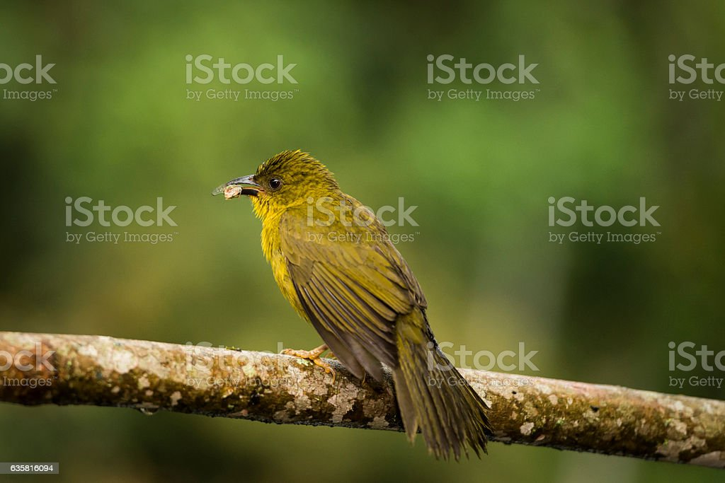 Olive-green tanager (Orthogonys chloricterus) stock photo