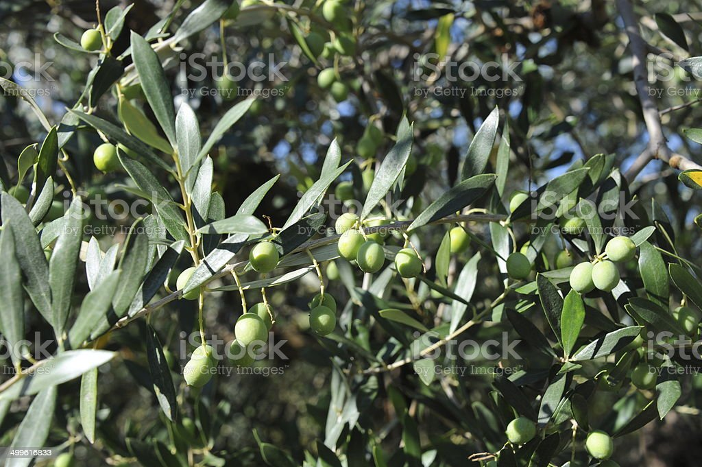 Oliven am Baum - Spanien royalty-free stock photo