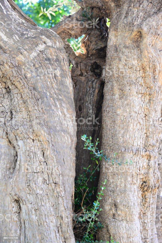 Olivenbaum - Olivenbaumstamm - Spanien royalty-free stock photo