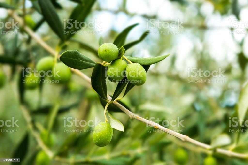 Azeitonas e galho de árvore verde-oliva no outono.  Conceito de fundo de alimentos agrícolas. - foto de acervo
