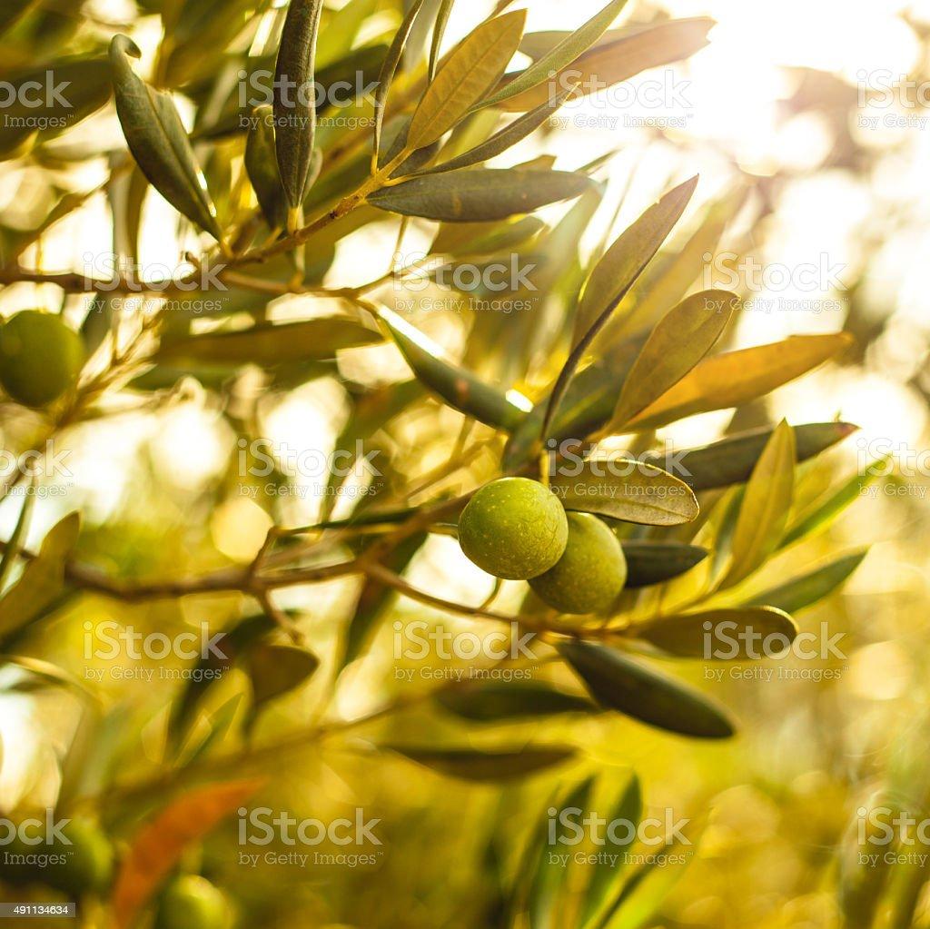 Olive branch sur un arbre - Photo