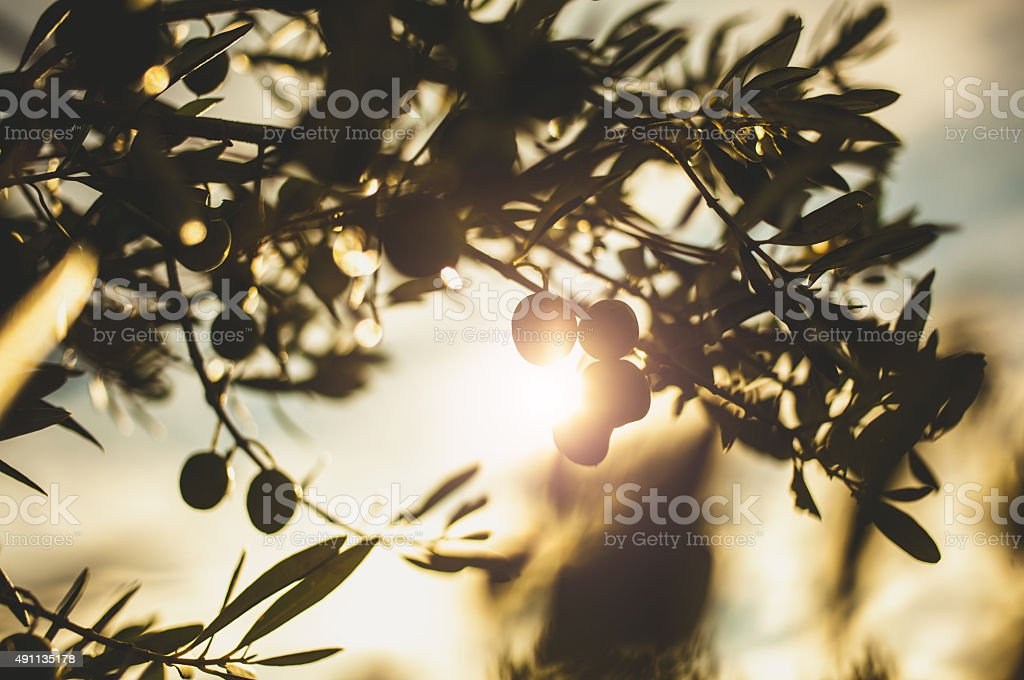 Olives branch on a tree stock photo