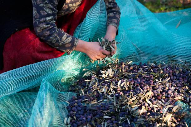 Olives harvest picking stock photo
