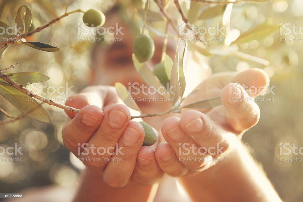 Olives harvest stock photo