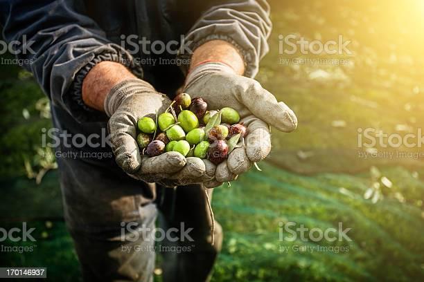 Olives harvesting picture id170146937?b=1&k=6&m=170146937&s=612x612&h=xshhauhltyupxtcknytri9zski2ps nxjp51bsosfoi=
