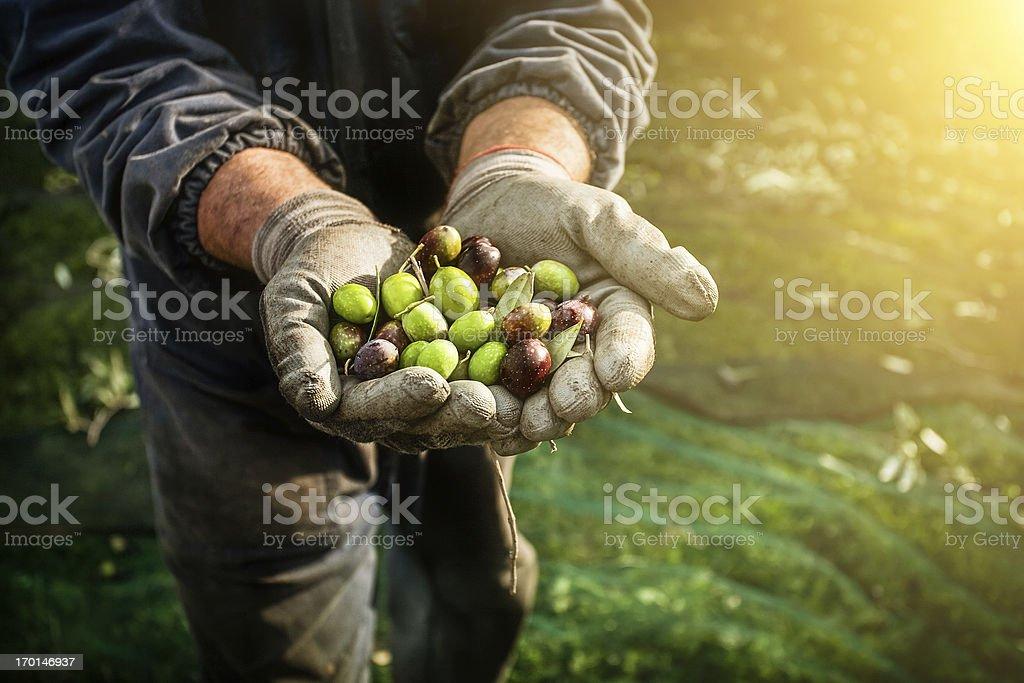 Olives harvesting stock photo