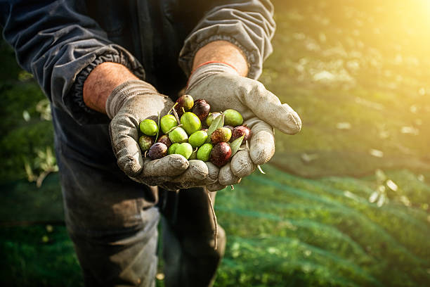 Olives harvesting Olives harvesting in Italy. Different kind of olive fruit in the hands of a farmhand labourer olives stock pictures, royalty-free photos & images