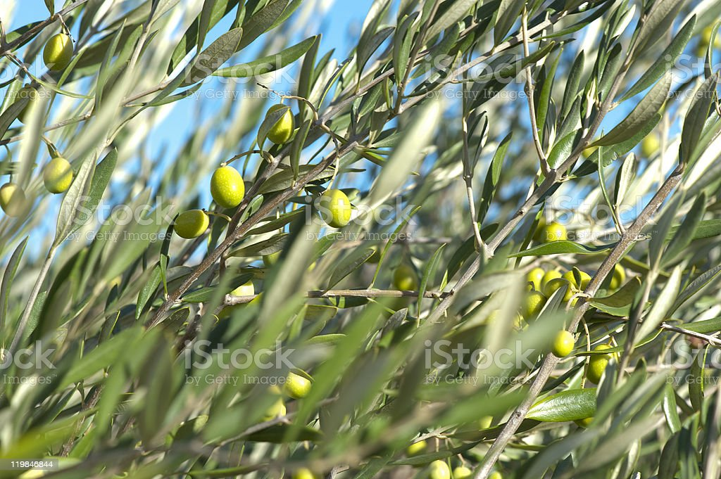 Olives In An Olive Tree California Stock Photo Download Image