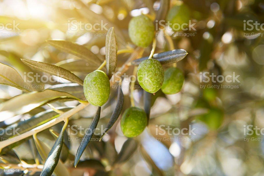 Olives in Croatia Village stock photo