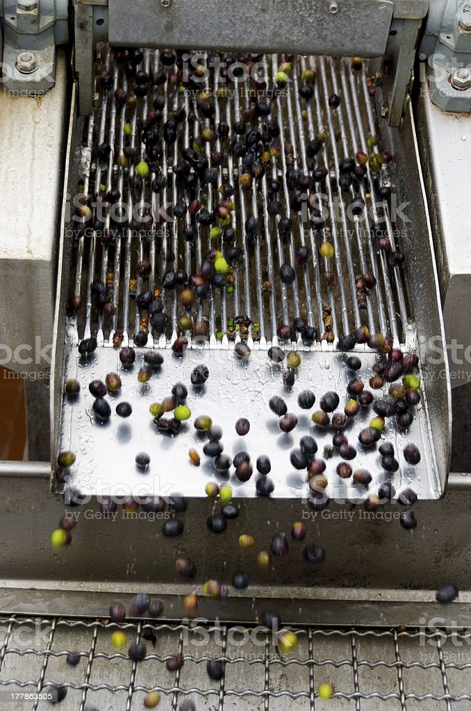 olives in the running stock photo