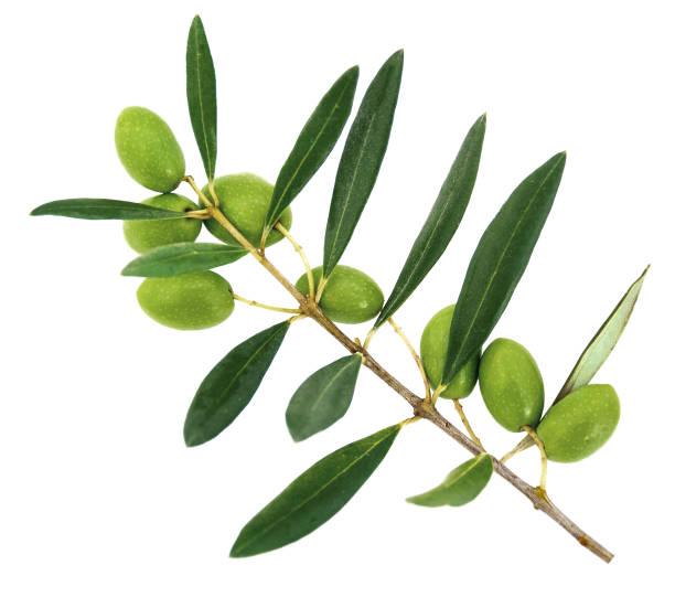 olives on a branch. white background - ramoscello d'ulivo foto e immagini stock