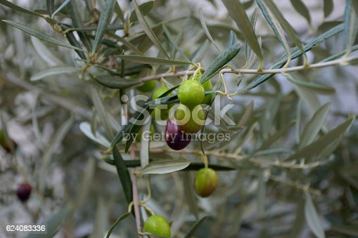 istock Olives on a olive tree branch 624083336