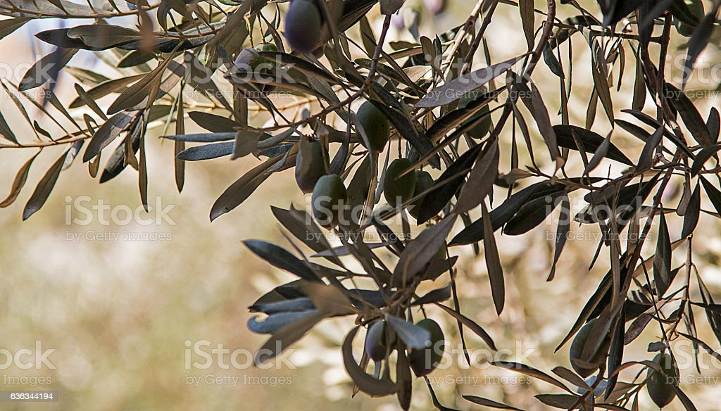 Olives on an olive tree in Garden of Gethsamane stock photo
