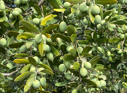Green olives on olive tree branch.
