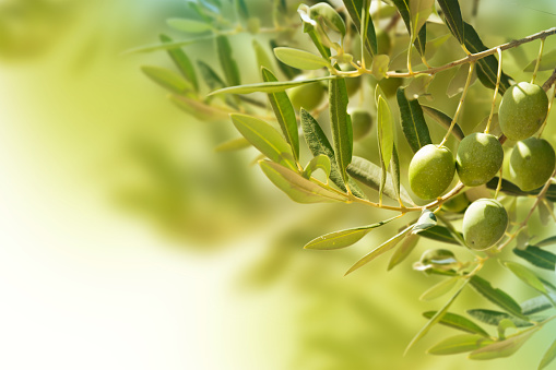 istock Olives on olive tree in autumn. 500179061