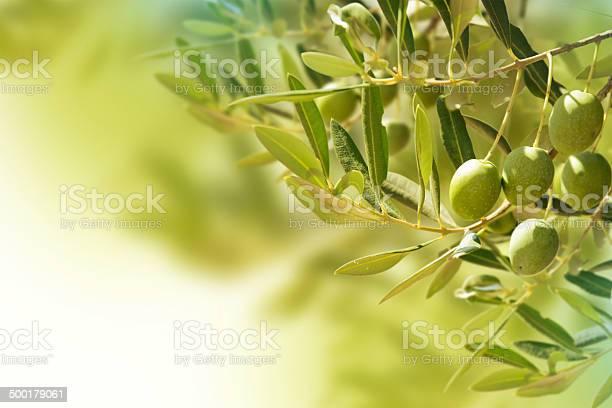 Olives on olive tree in autumn picture id500179061?b=1&k=6&m=500179061&s=612x612&h=xj73nizz1bdypnfapswiovm4evtzd1wegswhp9q6tqq=