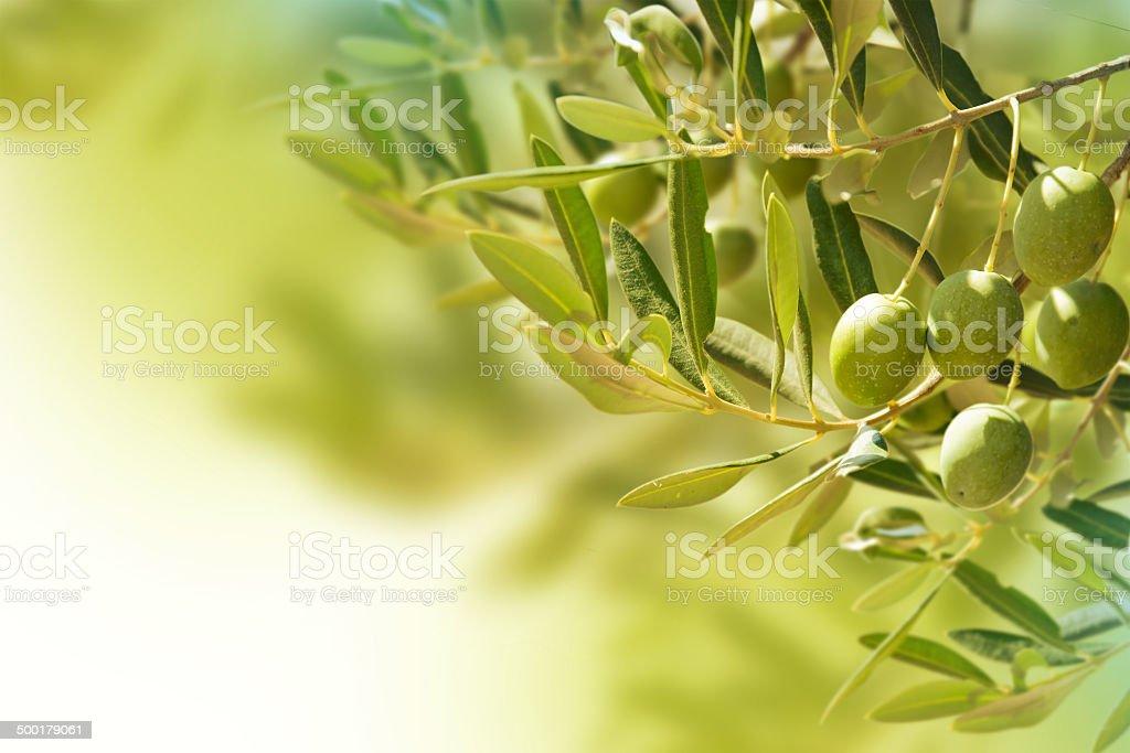 Olives sur olive tree à l'automne. - Photo
