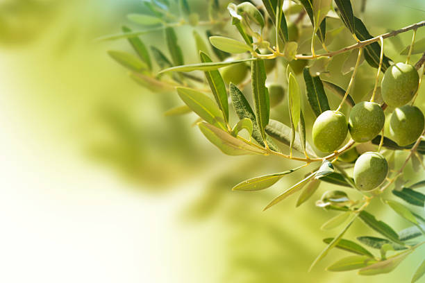Olives on olive tree in autumn. Olives on olive tree in autumn. olives stock pictures, royalty-free photos & images