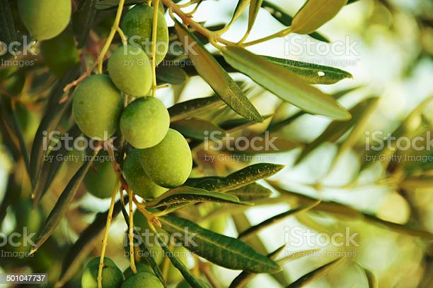 Olives on olive tree in autumn picture id501047737?b=1&k=6&m=501047737&s=612x612&h=l15g9l4e886v tp7nd6ca709bc0gu6uog2xhzanem8w=