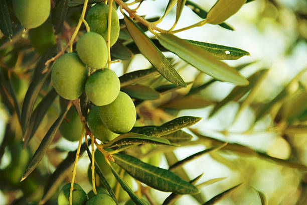 Olives on olive tree in autumn. Olives on olive tree in autumn. Season nature image olives stock pictures, royalty-free photos & images