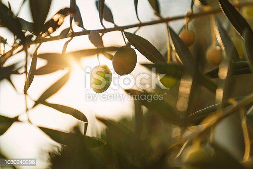 Olives on olive tree