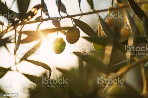 Olives on olive tree picture id1030240296?b=1&k=6&m=1030240296&s=612x612&h=ip5o 5neilovglhtntfmkqfeakzebidag0mv2i25boq=
